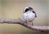Staartmees/ Long Tailed Tit