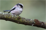 Staartmees / Long Tailed Tit