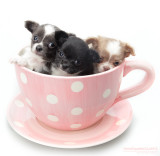 Chihuahuacup :)