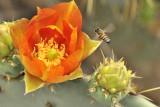Pear Bloom w/bee