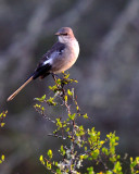 NOV_8830: Mockingbird