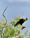 NOV_8871: Crested Caracara