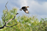 NOV_8886: Crested Caracara