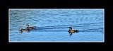 NOV_9125 Wood Ducks, Hens and Drake