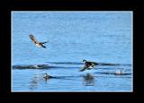 NOV_9135 Woodies in flight