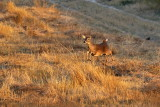 NOV_9299 Alarmed Whitetail Doe
