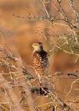 DEC_0069 Cooper's Hawk