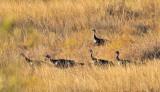 NOV_9185 Rio Grande turkeys
