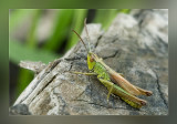 sprinkhanen__grashoppers