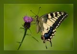 vlinders__butterflies
