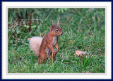 White Tailed Squirrel