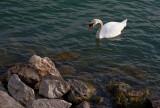 Geneva Swans 1