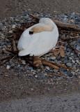 Geneva Swans 3