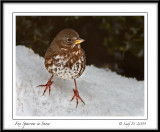 Fox Sparrow in Snow