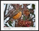 Robin in Mountain Ash.