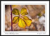 Winter Blackberry Leaves