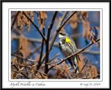 Myrtle Warbler in Catkins