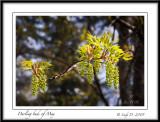Darling buds of May,