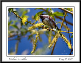 Chickadee in Catkins