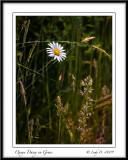 Oxeye Daisy in Grass