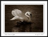 Mute Swan in Sepia