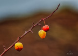 Last of the Crabapples