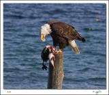 Bald Eagles Lunch