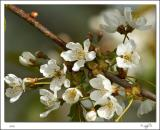 Wild Cherry Blossom.