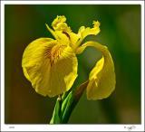 Bog Iris.