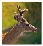 Young Deer in velvet.