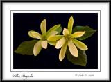 Yellow Magnolia.
