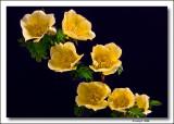 Canary Bird Rose.