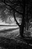 Tree Row, BW