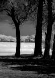 BW of Trees