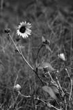 Kansas Wild Flower
