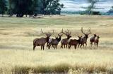 Black Hills Elk herd