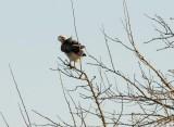 Hawk-Odd Pose
