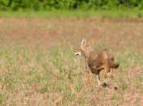 Running Coyote (gallery)
