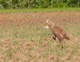Coyote Running 2
