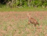 Coyote Running 3