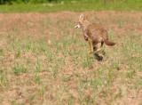 Coyote Running 4
