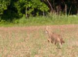 Coyote Running 5