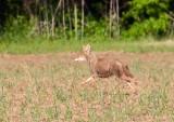 Coyote Running 7