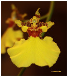 IMG_2857_Mon oncidium en fleurs.jpg