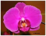 IMG_2867_1Mon orchidée-paphiopédilum.jpg