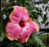 IMG_9159_1 Hibiscus.jpg