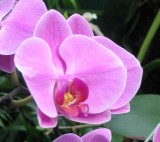 106_0659_Phalaenopsis.jpg