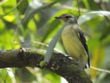 Flycatcher, Yellow Rump