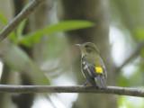 Flycatcher, Yellow-rumped (female)