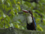 Kingfisher, White Throated